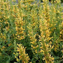 'Kudos  Yellow'  Hummingbird Mint