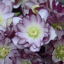 'Blushing Bridesmaid' Lenten Rose