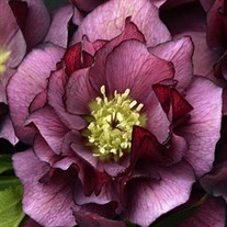 Helleborus 'True Love' WEDDING PARTY Series