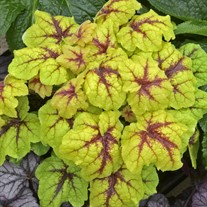 Heucherella 'Catching Fire' Foaming Bells