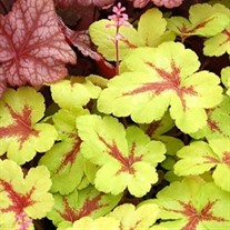 Heucherella 'Sunspot'