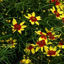 'Firefly'  Coreopsis