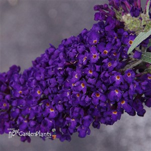 Buddleia Buzz™ 'Midnight' Buddleja