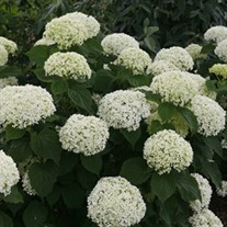 Invincibelle Limetta Smooth hydrangea