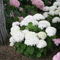 Invincibelle Wee White™ Smooth hydrangea
