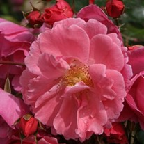 Oso Easy Pink Cupcake Landscape Rose