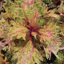 'Limon Blush' Coleus