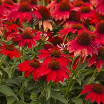 Sombrero 'Salsa Red' Coneflower