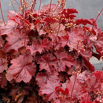 Heuchera NORTHERN EXPOSURE Red