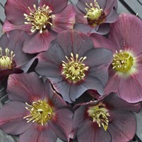 Helleborus 'Rome in Red'