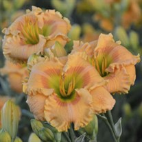 Daylily 'Orange Smoothie' ppaf