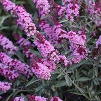 Buzz 'Soft Pink' Buddleja