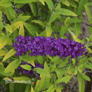 Buddleia 'Little Nugget' HUMDINGER Collection