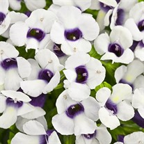 Grape-o-Licious Wishbone Flower Torenia hybrid