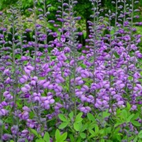 'Purple Smoke' False Indigo