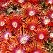 Ice Plant 'Red Mountain Flame'