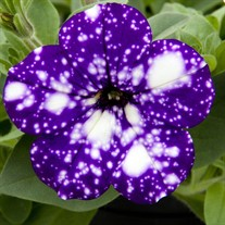 Headliner 'Night Sky' Petunia