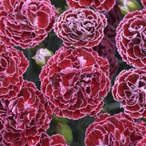 Dianthus 'Cherry Vanilla' FRUIT PUNCH Series