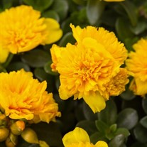 Portulaca ColorBlast Double Yellow