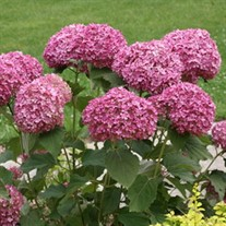 'Invincibelle Mini Mauvette' Smooth Hydrangea arborescens