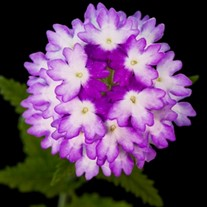 'Hurricane Blue' Verbena