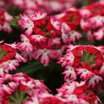 'Hurricane Hot Pink'  Verbena
