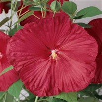 Hibiscus 'Luna Red'