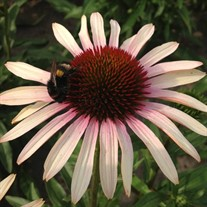 'Blushing Meadow Mama' Coneflower