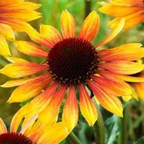 'Evening Glow' Coneflower