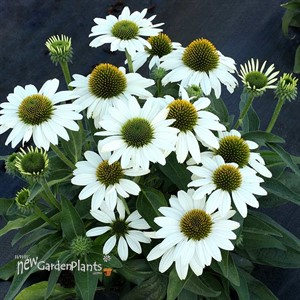 'KISMET White' Coneflower