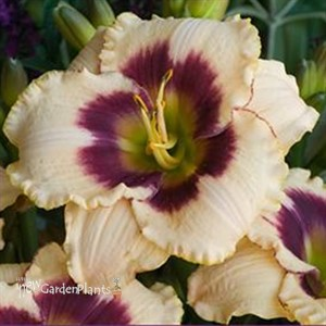 'Blueberry Candy' Daylily
