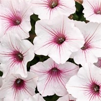 Supertunia Vista Silverberry Petunia
