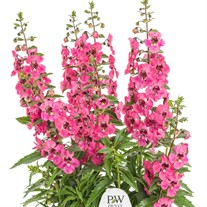 Angelface® Perfectly Pink Summer Snapdragon Angelonia hybrid