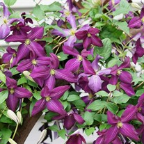Happy Jack Purple Clematis