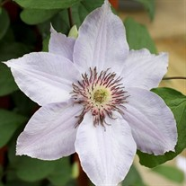STILL WATERS Clematis