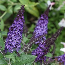 PUGSTER BLUE Butterfly Bush Buddleia