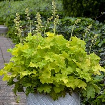 Heuchera 'Twist of Lime'
