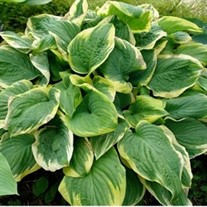 'Fragrant Dream' Hosta