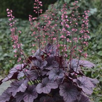 Heuchera 'Grape Timeless' Timeless Collection