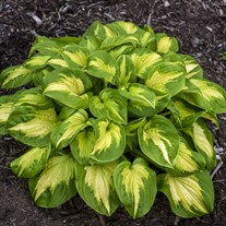 Hosta 'Etched Glass' SHADOWLAND Collection