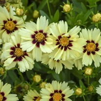 Coreopsis UPTICK™ Cream & Red UPTICK™ Series