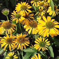 Echinacea Butterfly  'Golden Skipper'
