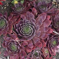 Sempervivum 'Peggy'