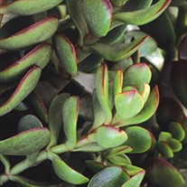 Small Red Carpet Stonecrop Crassula radicans