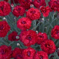 Dianthus 'Maraschino' FRUIT PUNCH® Series