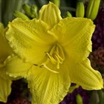 'Happy Returns' Daylily