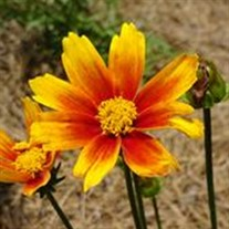 Coreopsis Li'l Bang™ Orange Elf