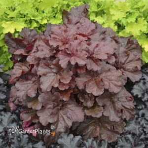 Heuchera 'Mahogany Monster' PPHeuchera 'Mahogany Monster' PRIMO® SeriesAF CPBRAF PRIMO® Series