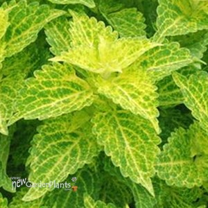 Coleus 'Main Street River Walk'