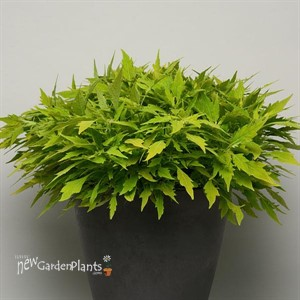 FlameThrower™ Salsa Verde Coleus